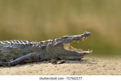Crocodile in the river, evening yellow sun, National park Yalla, Sri Lanka. Wildlife scene with crocodile in Asia