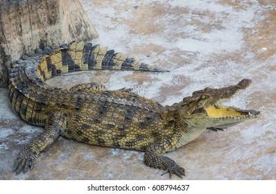 Crocodile saltwater Thailand