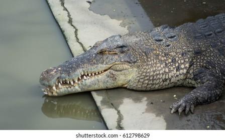 Crocodile saltwater Thailand zoo