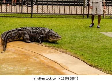 crocodile show in the crocoseum