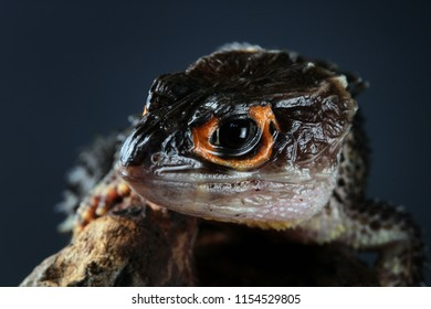 Crocodile skink on wood with black background