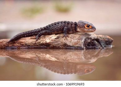Crocodile Skink, Red Eye crocodile skink, Lizard , Tribolonotus gracilis, Gecko