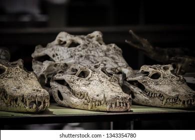 crocodile skulls selling in the street shop in Cambodia