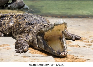 Crocodile is sleeping and open thier mouth