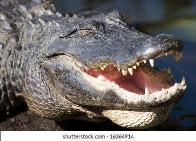 Crocodile smile, Everglades NP, Florida