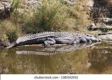Crocodile sunbathing on river bank