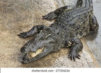 Crocodile swimming pool center in the rain, crocodile farm at Nakonpathom, Thailand.