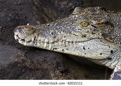 Crocodile teeth and detail of the eye, Semi hidden.