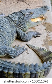 Crocodile in Thailand Farm