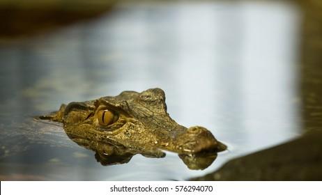 crocodile watching you