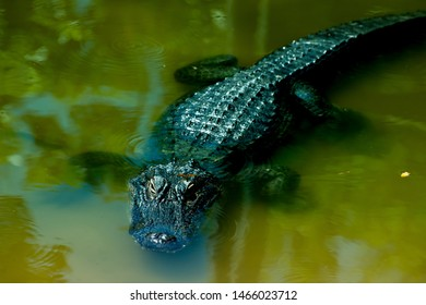 Crocodile in a water. Dangerous scary reptile in natural habitat. Closeup background.