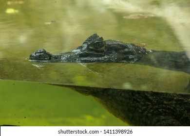 Crocodile is in the water