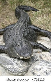 Crocodile - whole