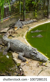 Crocodile in zoo