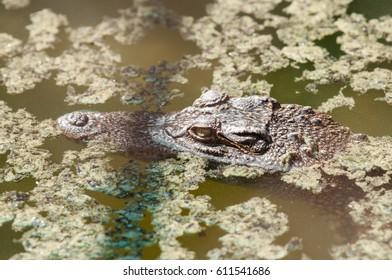 Crocodile in the zoo.