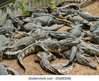 a lot of crocodile in the zoo farm