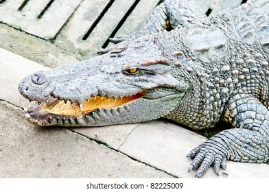 Crocodile in Zoo. Large and big area in Thailand Zoo