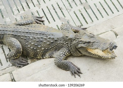 Crocodile in the zoo open, Thailand
