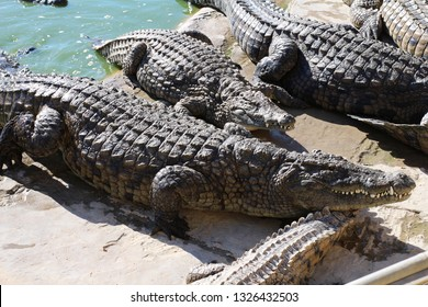 Crocodiles bask in the sun, lie on the sand, eat and frolic. Crocodile Farm. Breeding crocodiles. Crocodile sharp teeth.