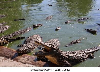 Crocodiles bask in the sun, lie on the sand, eat and frolic. Crocodile Farm. Breeding crocodiles. Crocodile sharp teeth.