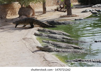 Crocodiles bask in the sun. Crocodiles in the pond. One crocodile comes out of the pond. Crocodile farm. Cultivation of crocodiles. Crocodile sharp teeth.