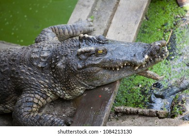 Crocodiles at Crocodile Farm