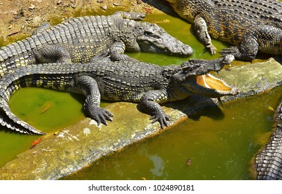 Crocodiles. Crocodile farm in the Pattaya Thailand 14 February 2018