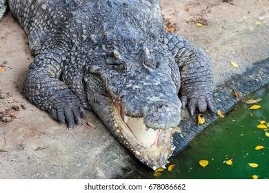 Crocodiles at Crocodile Farm in Thailand