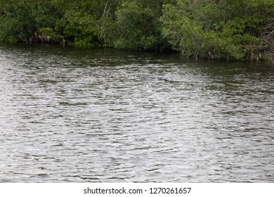 Crocodiles in Everglades National Park in Florida, U.S.