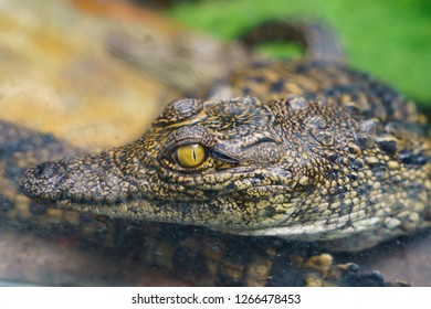 Crocodile's eye watches passing people. image with defocused background.