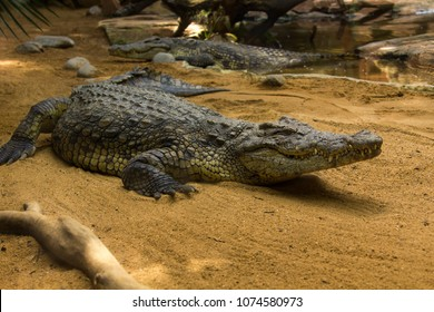 Crocodiles In A Crocodiles Farm