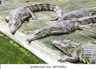 Crocodiles In the Farm , Zoo Thailand