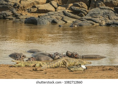 Crocodiles with hippos on a bank of the Mara River, Kenya.
