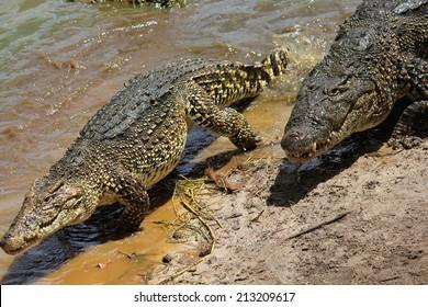 Crocodiles. Image taken in a natural park in Cuba