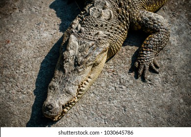 Crocodiles kept in the zoo