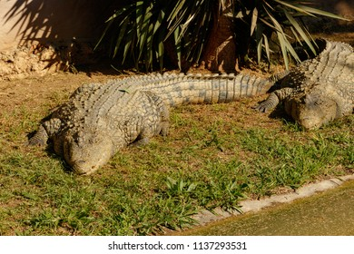 Crocodiles laying together on the grass in the park