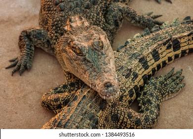 Crocodiles or northern Australia. Wild animals.