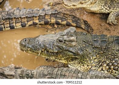 crocodiles on a crocodile farm