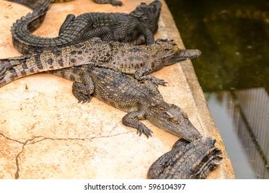 Crocodiles on a farm in Combodia