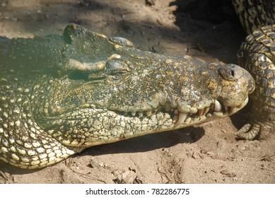 Crocodiles on the island of Cuba