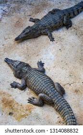 Crocodiles in the pool on a crocodile farm close-up.