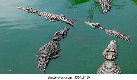 Crocodiles Resting at Crocodile Farm in Thailand