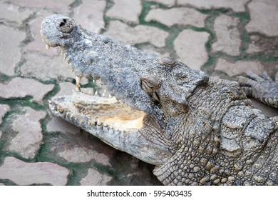 Crocodiles Resting In A Crocodiles Farm