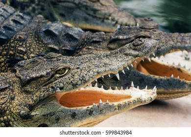 Crocodiles resting near water with open mouth