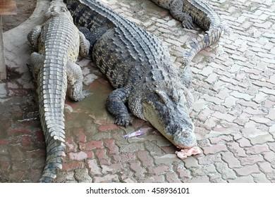 crocodiles sleep in the brick floor