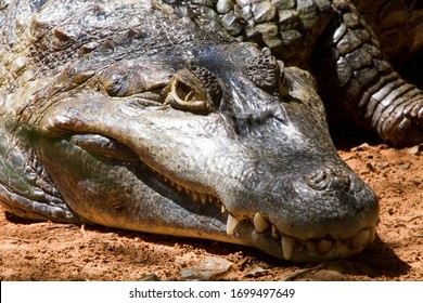 Crocodiles are sunbathing all day in the zoo