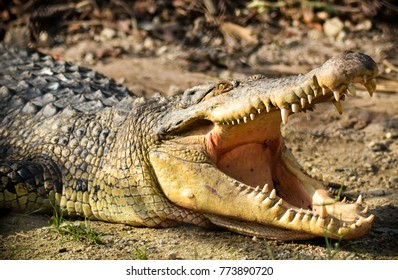 Crocodiles or true crocodiles are large aquatic reptiles that live throughout the tropics in Africa, Asia, the Americas and Australia.