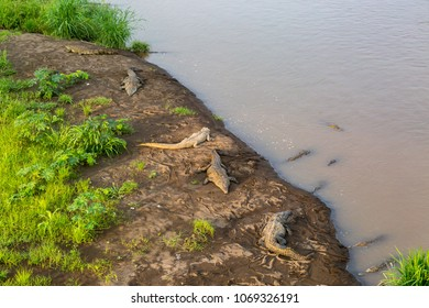 Crocodiles in the wild in Costa Rica, basking on the edge of a river