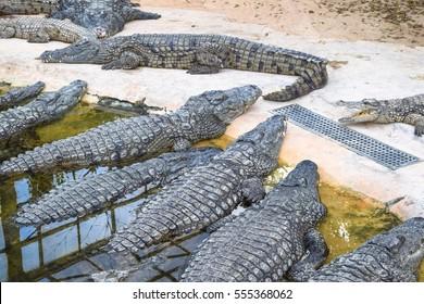 Crocodiles - wild dangerous animals