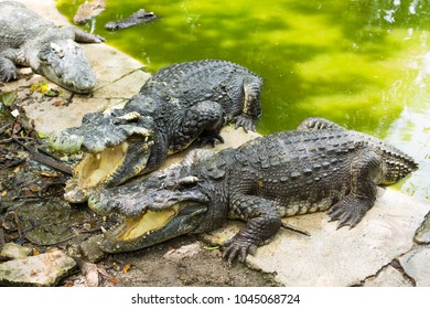 Crocodiles in zoo